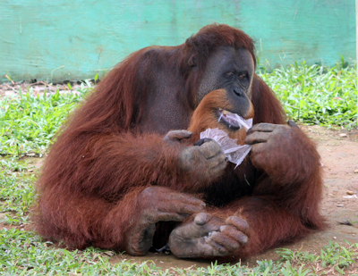 001_Orangutan makan plastik di Kebun Binatang Medan. 20 Desember 2015