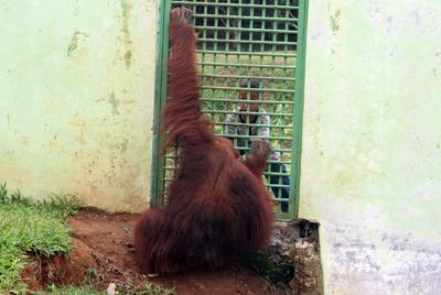 002_Orangutan kontak langsung dengan pengunjung di Kebun Binatang Medan. 20 Desember 2015