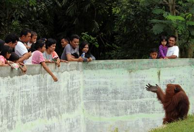 003_Pengunjung dapat melemparkan apa saja kepada orangutan di Kebun Binatang Medan. 20 Desember 2015
