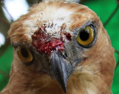 004_Burung luka tetap dipertontonkan kepada publik di Kebun Binatang Medan. 20 Desember 2015