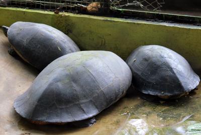 007_Areal display kura-kura tidak dilengkapi dengan deskripsi tentang satwa. 20 Desember 2015