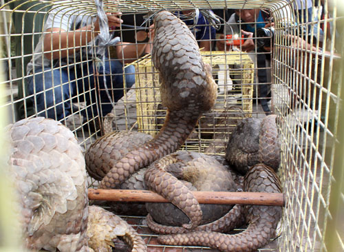 MoEF and Police Bust Illegal Trade of 13 Pangolins in Medan, Sumatra (July 19, 2016)