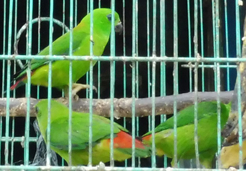 1,000 Illegal Birds On Sale in Tanjung Karang, Sumatra (November 1, 2016)