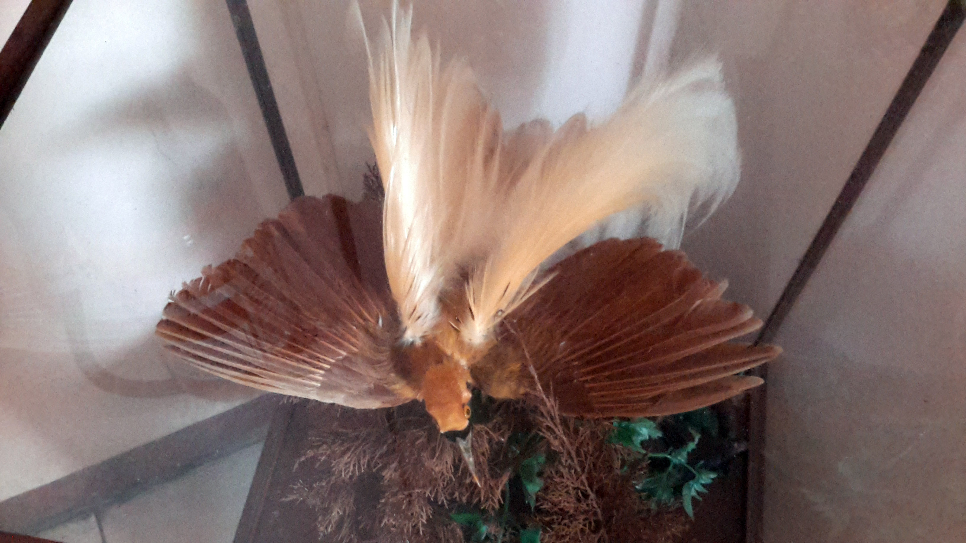 Stuffed Bird of Paradise in Banjarnegara Reported by Scorpion  (October 10, 2016)