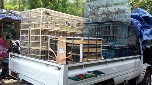 Approximately 5,000 Illegal Birds On Sale in Purbalingga Wildlife Market, Java (October 7, 2016)