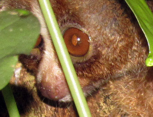 Wildlife Authority (BBKSDA) and Partners Rescue Again a Slow Loris (December 2, 2016)