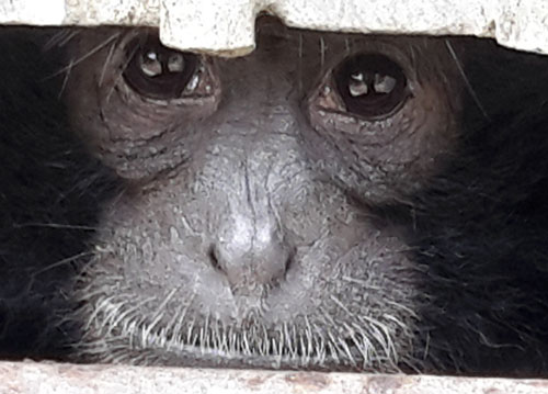 Scorpion and BKSDA Relocate 6 Siamang Gibbons from Jakarta to West Sumatra (December 6, 2016)