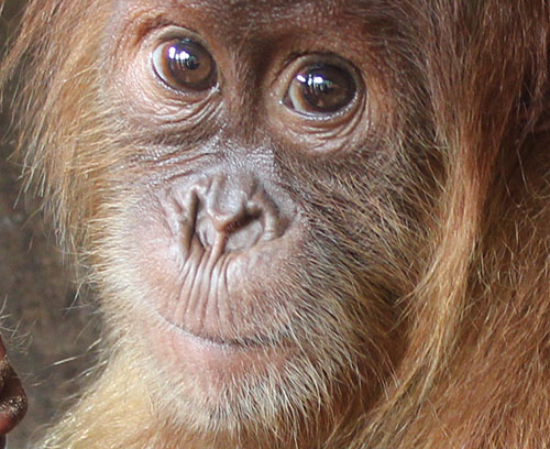 Latest Assessment: 71 Thousands Orangutans Left (August 22, 2017)