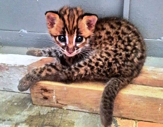The unfortunate fate of a leopard cat in Rantau Prapat, Sumatra