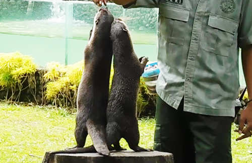 Otter circuse at Gembira Loka and Lembah Hijau Discontinued (January 18, 2018)