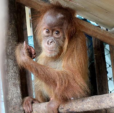 Orangutan Festival is Held in Medan (August 18, 2018)
