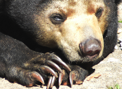 Sun Bears: Suffering in the Name of Entertainment  (September 13, 2018)