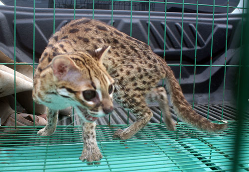 A Leopard Cat is Rescued from an Illegal Owner in Medan (May 31, 2018)