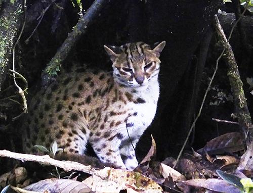 A leopard cat is released back in wild habitat