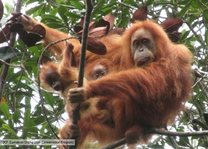 Tapanuli Orangutan Gives Birth to Twins