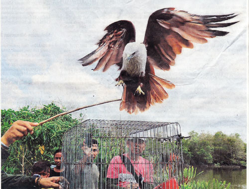 BBKSDA Releases Seven Brahminy Kites Back in the Wild (June 5, 2018)
