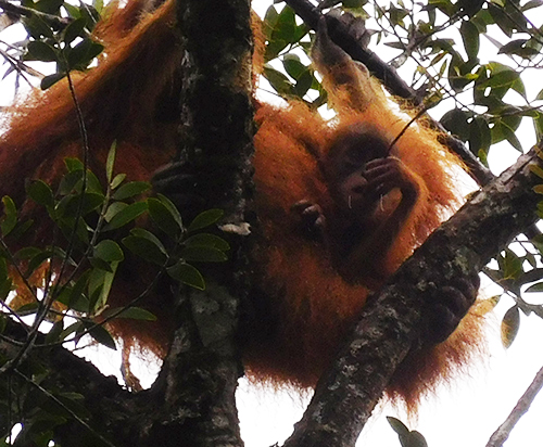 Monitoring orangutan habitat from the air (May 17, 2018)