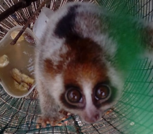 The Wildlife Authority and Scorpion rescue a Slow Loris from Halaban, Langkat, Sumatra (October 23, 2019)