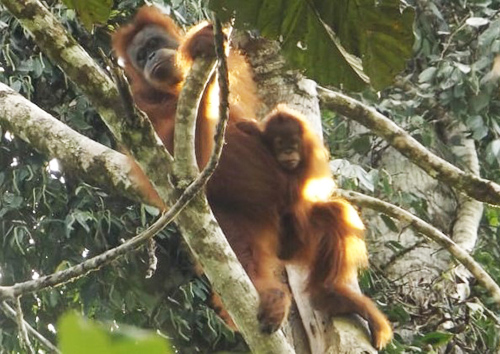 Joint Patrol for Protection of Tapanuli Orangutan in Adian Koting, North Tapanuli (September 16, 2019)