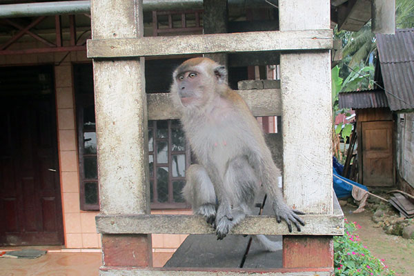 A Sad Long-tailed Macaque in Batangtoru, South Tapanuli (May 18,2020)