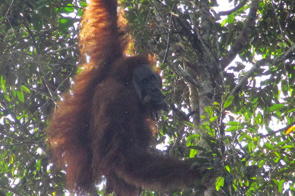 Joint Patrol in Arse Nauli: Team Encounters a Tapanuli Orangutan (October 29, 2020)