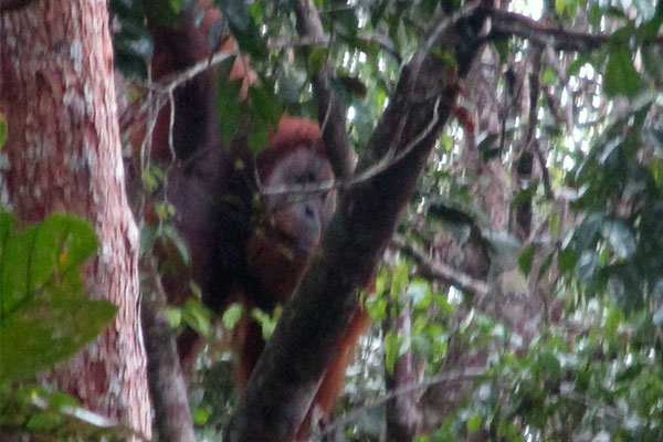 Joint Patrol in Arse Jae Lombang: An orangutan is Eating Durians (December 02, 2020)