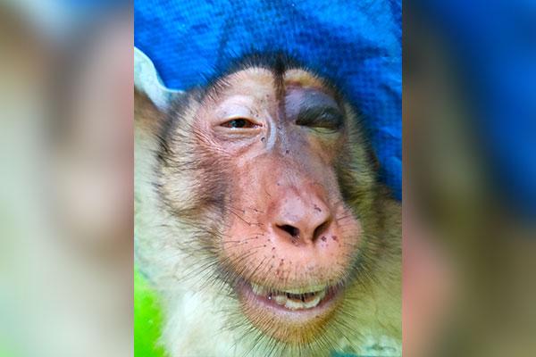 The Poor Pig-tail Macaque from Perdagangan, Sumatra (December 14, 2020)