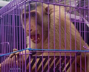 Prevent Cruelty to Animal in Hamparan Perak, North Sumatra (March 9, 2020)