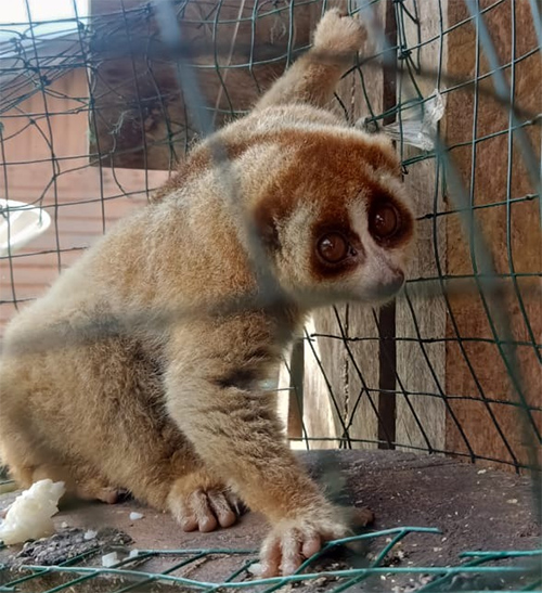 The Wildlife Authority and Scorpion Rescue a Slow Loris from Central Aceh, Sumatra (January 4, 2020)