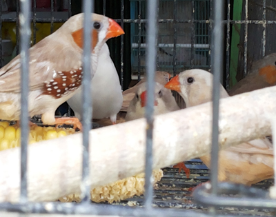 Bird sale at Merak Jingga 3 copy