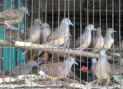 Bird sale at Merak Jingga 4 copy_1