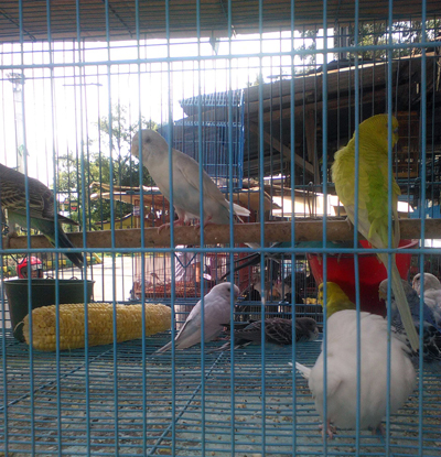 Bird sale at Merak Jingga 5 copy