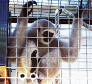 Result of Scorpion's Investigation: An Illegally Kept Gibbon Confiscated by BKSDA Jakarta (November 24, 2015)