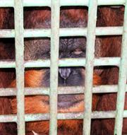 SCORPION Appeals to End Cruelty to Orangutan in Medan Zoo (October 23, 2015)