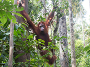 Kiwi is reported attacked by an Orangutan in Indonesia (August 27, 2015)