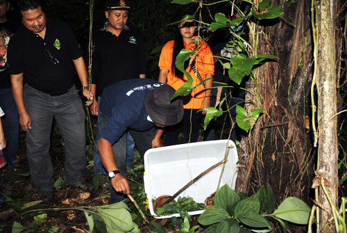 Four Slow Lorises Released Back in the Wild, Sumatra (February 4, 2017)