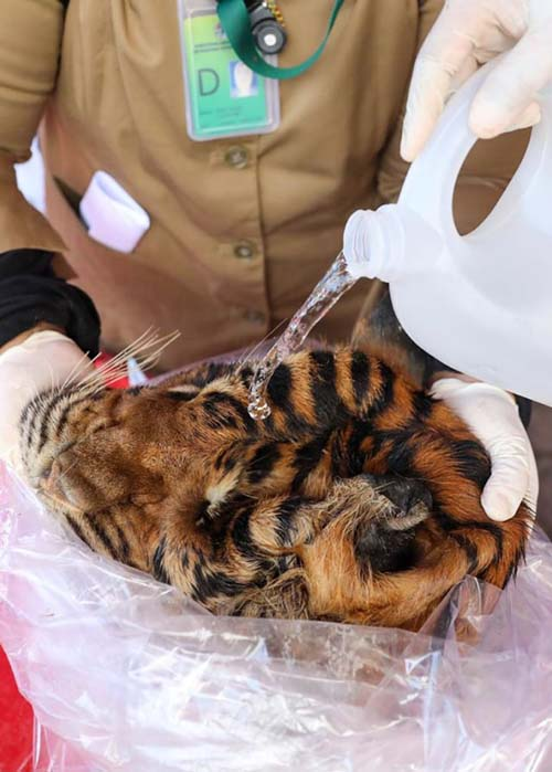The Aceh Provincial Police MoEF Bust transactions of Body parts of Tiger (November 10, 2020)