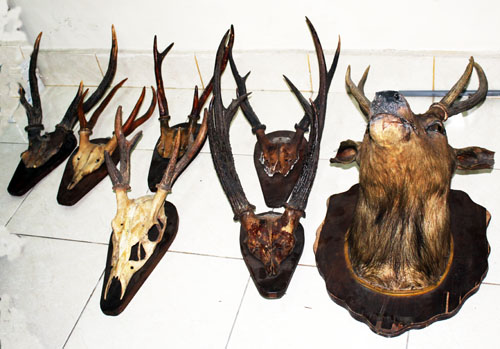 Another Leopard Brigade Work: Seven Stuffed Deer Heads Confiscated (February 26, 2016)