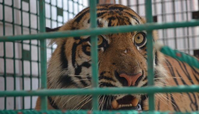 harimau-sumatera_01